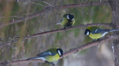 Tomtits feeding on the tree branch Stock Footage
