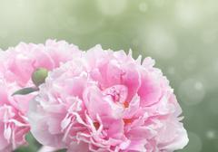 Dreamy pink peonies Kuvituskuvat