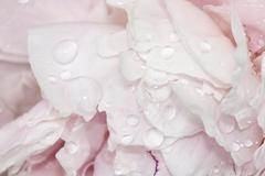 pale pink peonies with water - stock photo