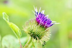 Thistle purple flower Stock Photos