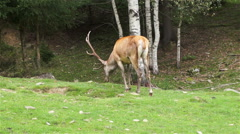Beautiful Deer with big horns on a green lawn Stock Footage