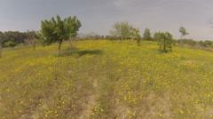 1093. Aerial Phantom2 chrysanthemums field  CRANE UP Stock Footage