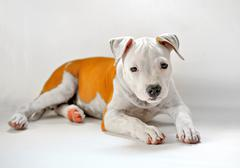 american staffordshire - stock photo