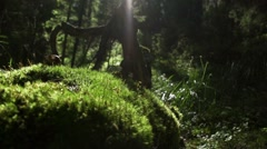 Beam of sunlight illuminates the moss in the forest Stock Footage