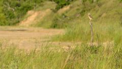 Flying Burrowing Owl Stock Footage