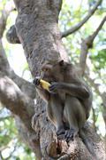 Monkey in nature eating fruit. Stock Photos