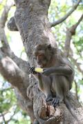 Monkey in nature eating fruit. Stock Photos