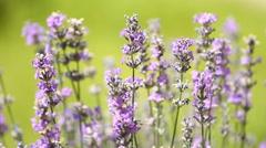 Lavenders flowers in a field Stock Footage