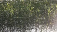 Stock Video Footage of Summer lake and rushes in the sun