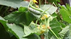 Homegrown vegetables, crop, garden, young cucumber, flowers, organic farm Stock Footage