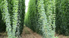 Hop garden befor the harvest in the wind, real time, Stock Footage