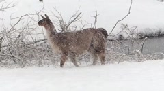 Llama looking for food, just snow. Stock Footage
