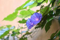 Violet bindweed on wall Stock Photos