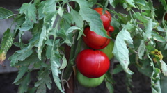 Stock Video Footage of Ripe and unripe big tomatoes, vegetable garden, organic, farm, homegrown