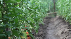 Beautiful organic vegetable garden, traditional agriculture, ripe tomatoes, pan Stock Footage