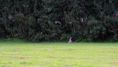 A Wild Rabbit Eats Grass and Looks Around Stock Footage