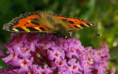 A beautiful Tortoiseshell butterfly feeding on a flower - stock photo
