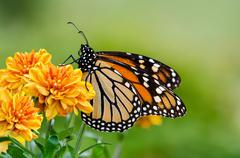 Monarch butterfly (danaus plexippus) during autumn migration - stock photo