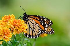 Monarch butterfly (danaus plexippus) during autumn migration Stock Photos