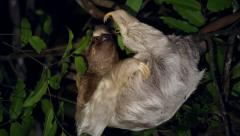 Three-toed Sloth humorously scratches & grooms fur in Tortuguero, Costa Rica. Stock Footage