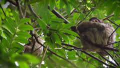 Three-toed Sloths sleep & shelter during a rain storm in Tortuguero, Costa Rica. Stock Footage