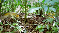 Squirrel Monkeys jump and play in the jungles of Manuel Antonio, Costa Rica. Stock Footage