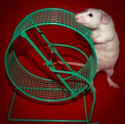 White Rat Investigating and Sniffing a Cage Wheel Kuvituskuvat