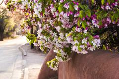 Blossoms and  adobe wall in Santa Fe in spring - stock photo