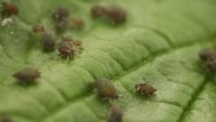 Aphids on the surface of the green leaf. agricultural pests close up Stock Footage