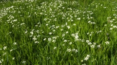 cerastium flowers (mouse-ear chickweed) on meadow - stock footage