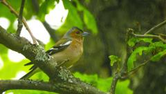Male common chaffinch (fringilla coelebs) sitting on a branch in an oak fores Stock Footage