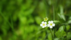 Flowers of wild strawberries in summer forest Stock Footage