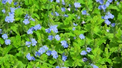 Small blue flowers in the flowerbed - veronica Stock Footage