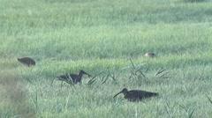 (Eurasian) curlew - Numenius arquata Stock Footage