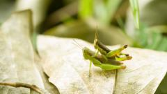 Two grasshoppers copulating on tropical rainforest Stock Footage