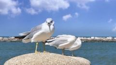 4K Lake Erie Seagulls Stock Footage
