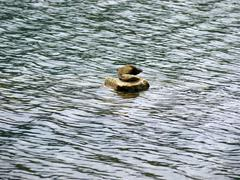 duck shape stone in middle of water - stock photo