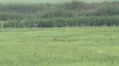 Fox in the early morning Stock Footage