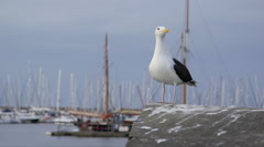 Herring gull on harbour wall Stock Footage