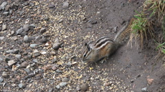 Chipmunk striped rodent natural environment 4K 197 Stock Footage