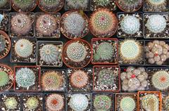 bunch of decorative small cactus flowers in pots - stock photo