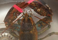 Alive lobster in kitchen sink Stock Photos