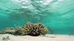 Baby-Fish-Kindergarten in hard corals Stock Footage
