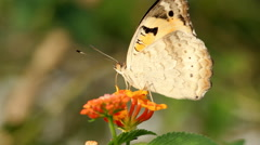 Butterfly sucking nectar, Close up. Stock Footage