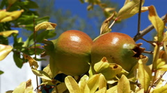 Pomegranate Fruits on the Branch Tree Stock Footage