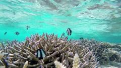 Dascyllus aruanus in Coral garden Stock Footage