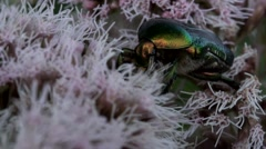 Rose chafer on a flower Stock Footage