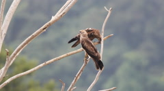 Red-backed sea-eagle or Brahminy Kite juvenile Stock Footage