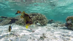 Titan triggerfish cracking snail in Maldives unterwater coral reef Stock Footage