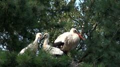 White stork  Stock Footage